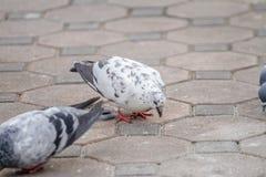 Pájaro blanco de las palomas que picotea la comida en la tierra Fotos de archivo libres de regalías