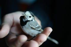 Pájaro blanco del aguzanieves que pone a mano Fotos de archivo