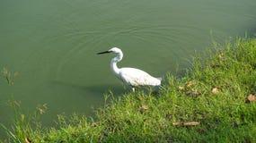 Pájaro blanco en el agua en el parque público Fotos de archivo