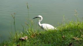Pájaro blanco en el agua en el parque público Fotografía de archivo