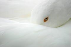 Pájaro blanco - ganso imagen de archivo