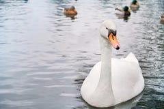 Pájaro blanco hermoso del cisne en el lago fotos de archivo libres de regalías