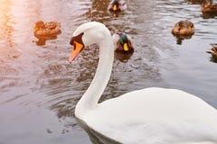 Pájaro blanco hermoso del cisne, entonado fotografía de archivo