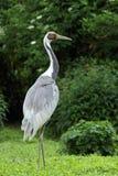 Pájaro Blanco-naped de la grúa Fotos de archivo