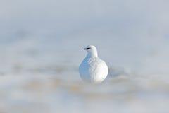 Pájaro blanco ocultado en el hábitat blanco Opinión del arte de la naturaleza Oscile la perdiz nival, mutus del Lagopus, pájaro b Fotos de archivo libres de regalías