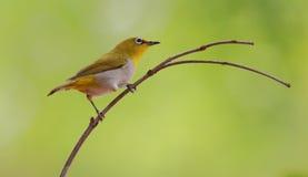 Pájaro blanco oriental del ojo Imagenes de archivo