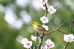 Pájaro blanco oriental del ojo en Japón Fotos de archivo libres de regalías