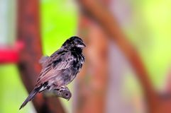 Pájaro blanco y negro del pinzón en pajarera Imagen de archivo