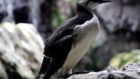 Pájaro blanco y negro Murre almacen de video