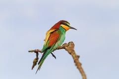 Pájaro brillante en una rama contra un fondo del cielo oscuro Fotos de archivo libres de regalías