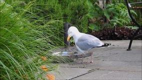 Pájaro británico de la gaviota que bebe del cuenco del agua en jardín metrajes