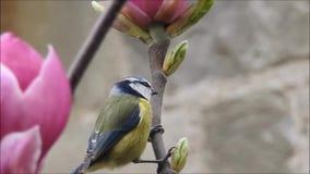 Pájaro británico del tit azul que juega entre los árboles de la magnolia de la primavera almacen de video