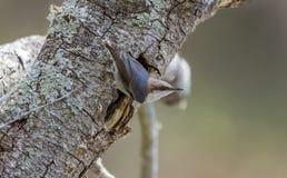 pájaro Brown-dirigido del trepatroncos, Walton County Monroe Georgia imagen de archivo