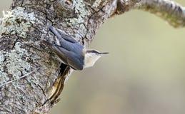 pájaro Brown-dirigido del trepatroncos, Walton County Monroe Georgia imagen de archivo libre de regalías