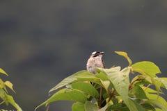 Pájaro, Bulbul chino Imagen de archivo