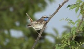 Pájaro cantante, el pechiazul Foto de archivo