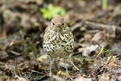 Pájaro cantante en una hierba Imágenes de archivo libres de regalías