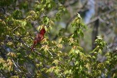 Pájaro cardinal Foto de archivo libre de regalías