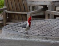 Pájaro cardinal de cresta roja en Oahu tropical, Hawaii foto de archivo libre de regalías
