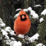 Pájaro cardinal masculino en invierno Fotografía de archivo libre de regalías