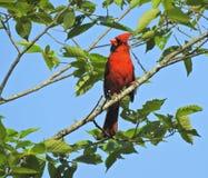 Pájaro cardinal masculino n un árbol Imágenes de archivo libres de regalías