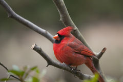 Pájaro cardinal norteño masculino imágenes de archivo libres de regalías
