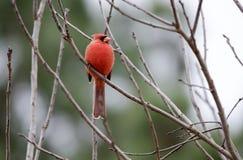 Pájaro cardinal septentrional en invierno, Georgia, los E.E.U.U. imagen de archivo libre de regalías
