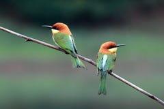 pájaro Castaña-dirigido del Abeja-comedor Imagen de archivo libre de regalías