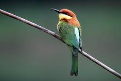 pájaro Castaña-dirigido del Abeja-comedor Fotos de archivo