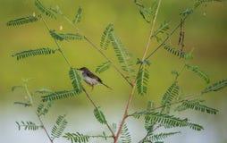 Pájaro ceniciento del Prinia Imagen de archivo