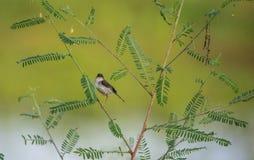 Pájaro ceniciento del Prinia Foto de archivo libre de regalías