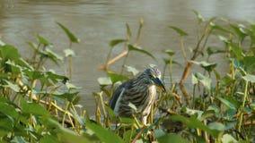 Pájaro chino de la garza