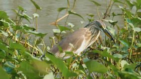 Pájaro chino de la garza metrajes