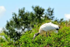 Pájaro, cigüeña de madera blanca encima del árbol en humedales Foto de archivo