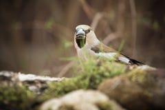 Pájaro (coccothraustes del Coccothraustes) en el tronco del abedul para el natu Imágenes de archivo libres de regalías