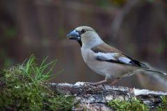 Pájaro (coccothraustes del Coccothraustes) en el tronco del abedul para el natu Fotografía de archivo
