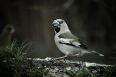 Pájaro (coccothraustes del Coccothraustes) en el tronco del abedul para el natu Fotos de archivo