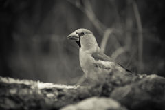 Pájaro (coccothraustes del Coccothraustes) en el tronco del abedul para el natu Foto de archivo