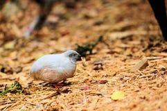 Pájaro: Codornices con un gusano Imágenes de archivo libres de regalías