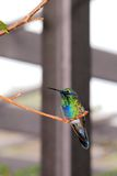 Pájaro, colibrí violetear el chispear Imagen de archivo libre de regalías