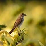 Pájaro - collurio Rojo-apoyado del Lanius del alcaudón Imágenes de archivo libres de regalías