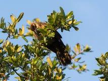 Pájaro coloreado arcilla del tordo Fotografía de archivo libre de regalías