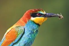 Pájaro coloreado con la abeja en el pico imagen de archivo