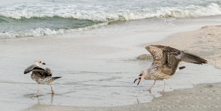 Pájaro coloreado de la gaviota en una playa de la arena Foto de archivo libre de regalías