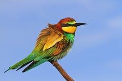 Pájaro coloreado europeo que se sienta en una rama Imágenes de archivo libres de regalías