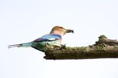 Pájaro coloreado hermoso del estornino imagenes de archivo