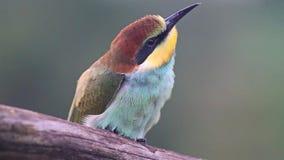 Pájaro coloreado lindo que tira lentamente almacen de video