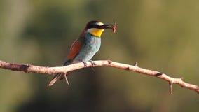 Pájaro coloreado que se sienta en una rama de la avispa en su pico metrajes
