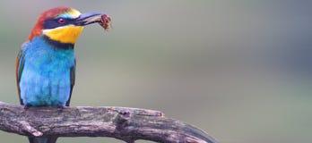 Pájaro coloreado salvaje con un insecto en un panorama del pico fotos de archivo libres de regalías