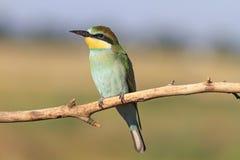 Pájaro colorido con las plumas verdes Fotografía de archivo